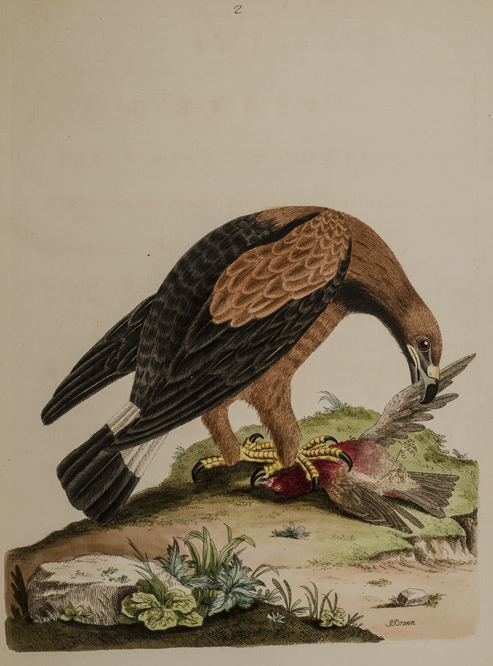 BROWN, PETER - Nouvelles Illustrations de Zoologie / New Illustrations of Zoology