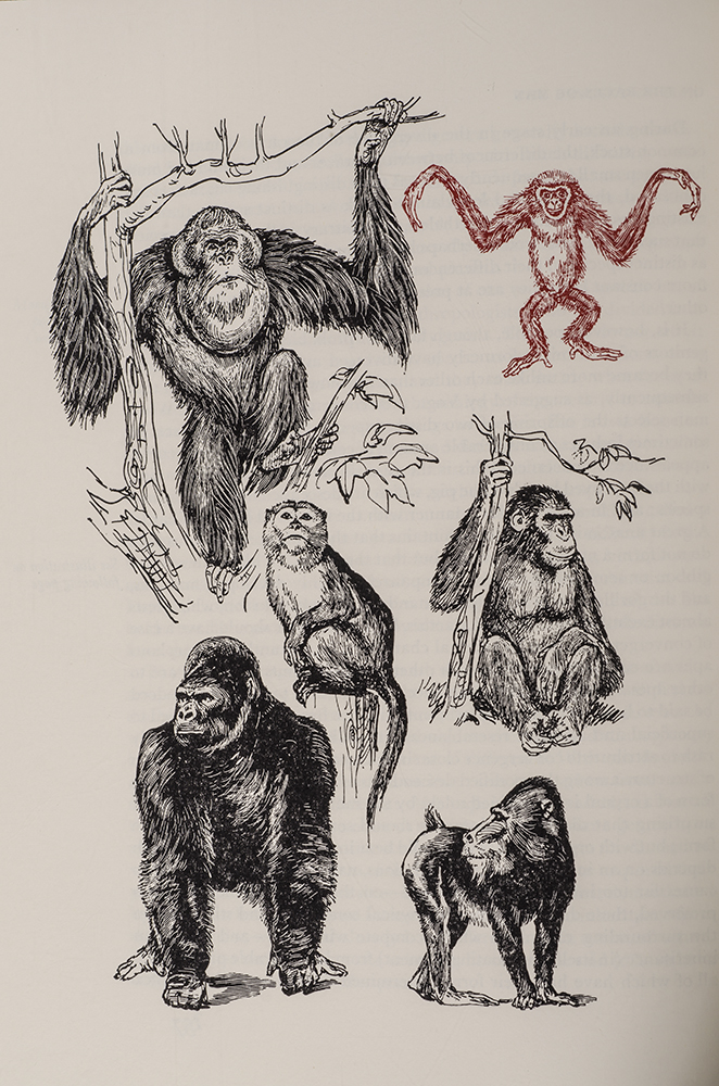 DARWIN, CHARLES; LIMITED EDITIONS CLUB; KREDEL, FRITZ, ILLUSTRATOR; MONTAGU, ASHLEY (PREFACE) - Descent of Man, the
